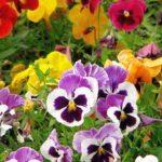 Чай из цветов Анютины глазки